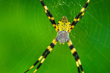 predatory insect: Black and Yellow Garden Spider Stock Photo