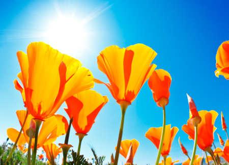 opium poppy: Field of Flowers with Blue Sky, Macro View