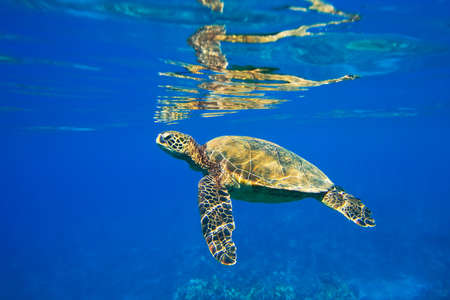 hard coral: Sea Turtle Under Water Stock Photo