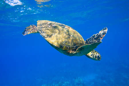 Sea Turtle Under Water photo