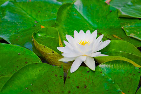 Water lilly in a pond photo