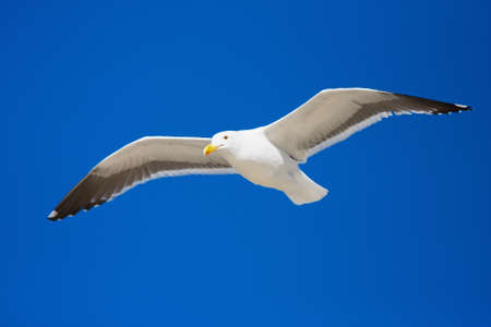 Seagull flying against a blue sky photo