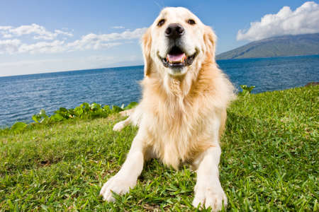 Golden Retriever Stock Photo - 11928323