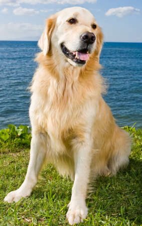 Golden Retriever  photo