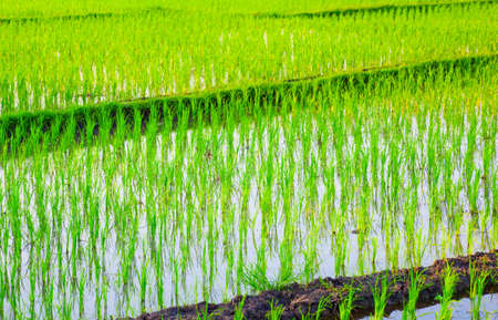 rice crop: Rice Field in Asia