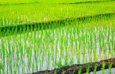 harvest field: Rice Field in Asia