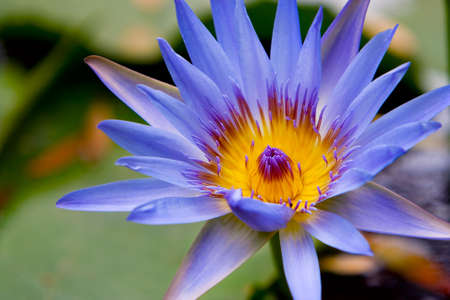 blue frog: Water Lilly