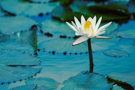 Water Lilly photo