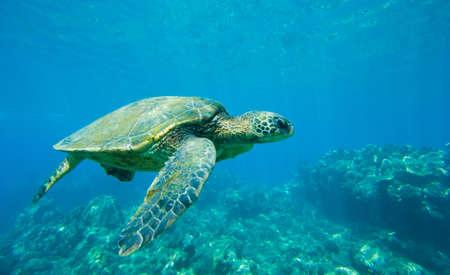 바다에서 녹색 바다 거북 수영 스톡 콘텐츠 - 12000810