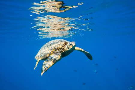 groene zeeschildpad zwemmen in oceaan zee