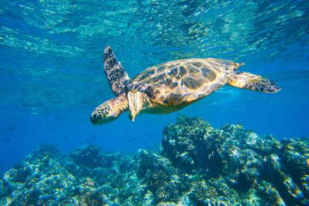 arrecife: mar, la tortuga verde de natación en mar océano