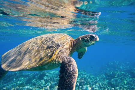chelonia: green sea turtle swimming in ocean sea