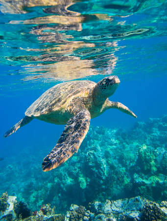 marine coral: green sea turtle swimming in ocean sea