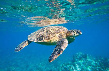 Green Turtle nuoto in mare, oceano mare