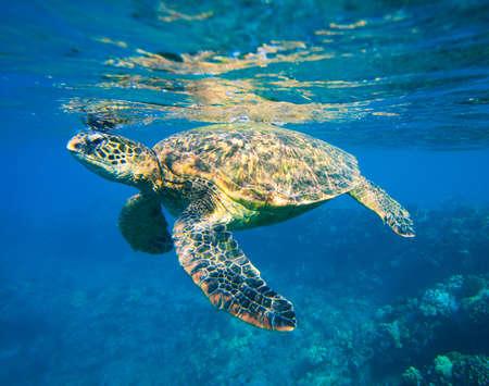 green turtle: green sea turtle swimming in ocean sea