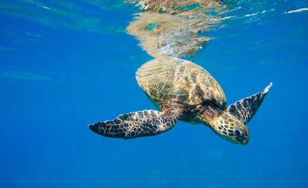 green sea turtle: green sea turtle swimming in ocean sea