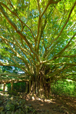 Tree of Life, Amazing Banyan Tree photo