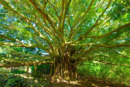 banyan tree: Tree of Life, Amazing Banyan Tree