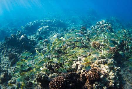 hardcoral: Tropical Reef in Hawaii Underwater