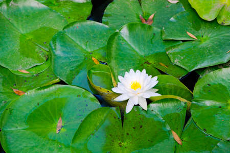 Beautiful Water Lilly Imagens