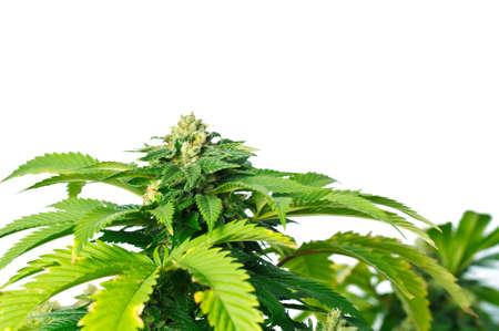 medicinal plants: Planta de marihuana, planta de Cannabis Green