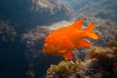 damselfish: Garibald in Ocean in Southern California