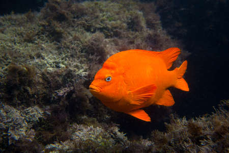 marinelife: Garibald in Ocean in Southern California
