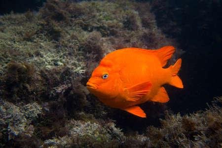 catalina: Garibald in Ocean in Southern California