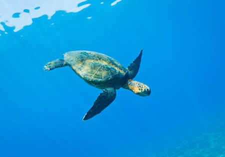 ハワイでの水の下で緑の海カメ