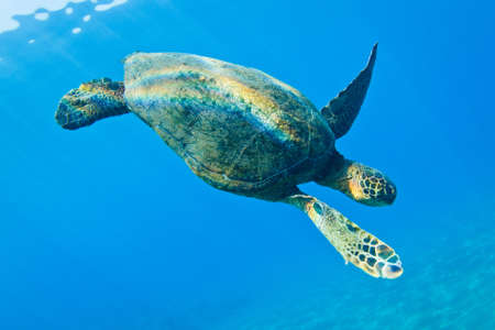 Green Sea Turtle Under Water in Hawaii Stock Photo - 13183973
