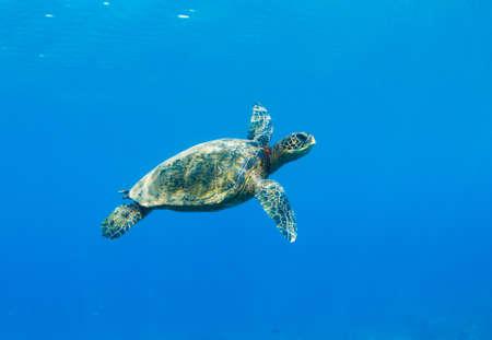 Green Sea Turtle Under Water in Hawaii photo