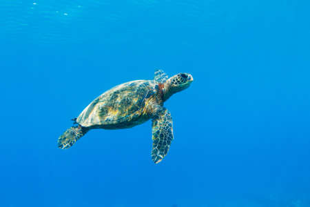 Green Sea Turtle Under Water in Hawaii photo