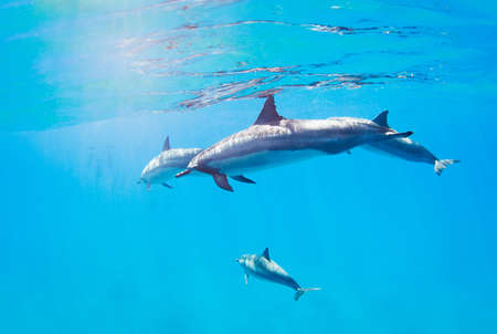 dolphins swimming underwater, tropical ocean photo