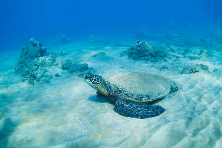 green sea turtle underwater photo