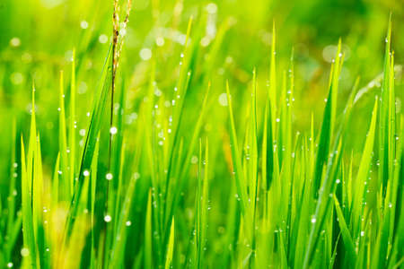 Close up of fresh grass with water drops in the early morning photo