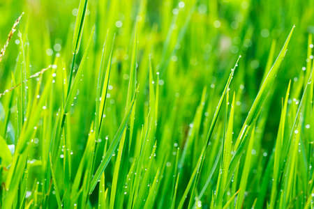 blade of grass: Close up of fresh grass with water drops in the early morning