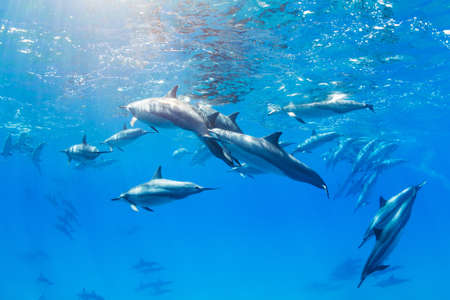 bottle nose: Dolphins Swimming in the Ocean, Amazing Underwater View Stock Photo