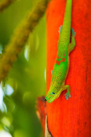 lizard in field: Ex�tico Lagarto Verde Tropical, Profundidad macro Ver poca profundidad de campo Foto de archivo