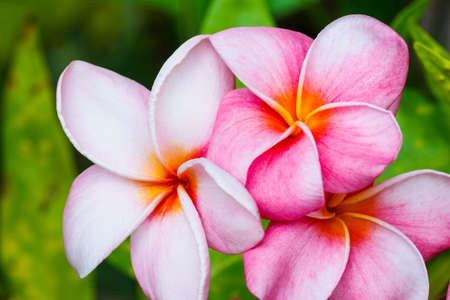 exotic flowers: Pink Plumeria Flowers Stock Photo