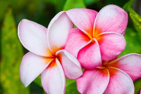 plumeria flower: Pink Plumeria Flowers Stock Photo