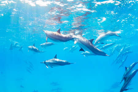 Dolphins Underwater in Hawaii photo