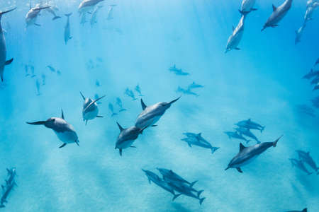 cetacean: Dolphins Underwater in Hawaii
