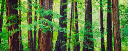 Redwood Trees in Forest, Northwest Rain Forest photo