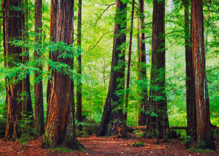 redwood: Redwood Trees in Forest, Northwest Rain Forest