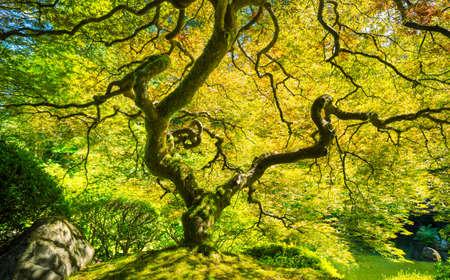 japenese: Amazing Green Japanese Maple Tree, Nature Garden