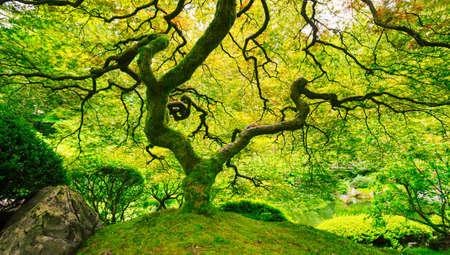 huge tree: Amazing Green Japanese Maple Tree, Nature Garden