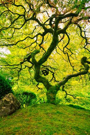Erstaunliche grüne japanischen Ahorn, Natur Garten Standard-Bild - 21559198