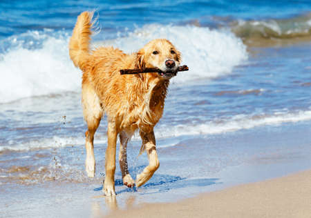 Happy Young Golden Retriever.  Addorable Dog Running on the Beach Fetching Stick photo