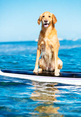 Surfing Dog, Happy Young Golden Retriever on Surf Board