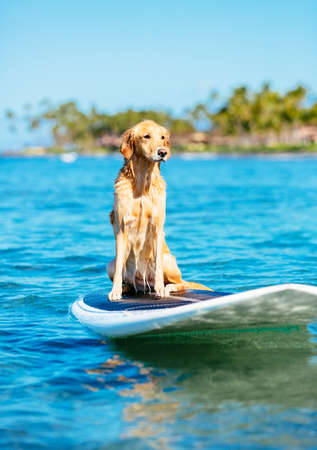 Surfing Dog, Happy Young Golden Retriever on Surf Board photo